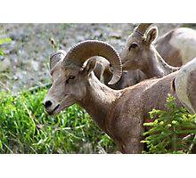 Rocky Mountain Bighorn Sheep  Photographic Print