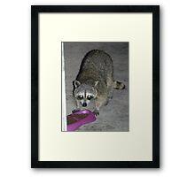 Raccoon's Full Bandito Image Framed Print