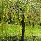 Weeping Willow dressed in Springtime! by Ruth Lambert