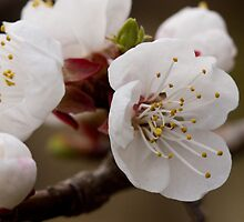 Apricot Blossoms by ElyseFradkin