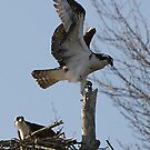 Osprey coming home from a hard day at work. by Scott Englund