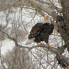 bald eagle  by jeff welton