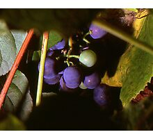Hidden Grapes Photographic Print