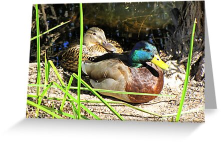 Mallard Ducks ~ Pair by Kimberly Chadwick