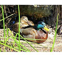 Mallard Ducks ~ Pair Photographic Print
