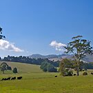 Premium cow country: Warragul, Victoria. by johnrf