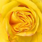 Yellow rose close up by buttonpresser