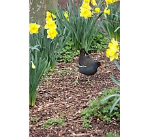 moorhen on the scrounge Photographic Print