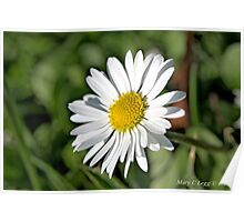 Common Daisy,  Bellis perennis Poster