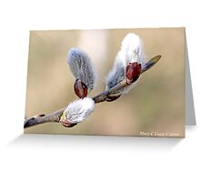 Pussywillow blooms Salix Greeting Card