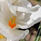 Open white crocus by pogomcl