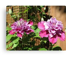 Sunkissed Clematis Blossoms Canvas Print