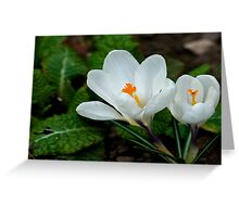 White Crocus  (Spring Bulbs) Greeting Card