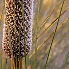 Morialta- Xanthorrhoea Flower by Ben Loveday