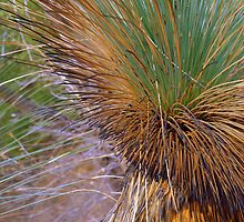 Morialta- Grass Tree after a Bushfire by Ben Loveday