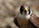 Peregrine falcon (Falco peregrinus) portrait by David Carton