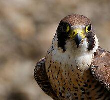 Peregrine falcon (Falco peregrinus) portrait by buttonpresser