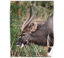 NJALA - Tragelaphus angasii - a handsome, striking antelope Poster
