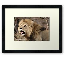 A CALL IN THE WILDERNESS... THE LION, Panthera leo Framed Print
