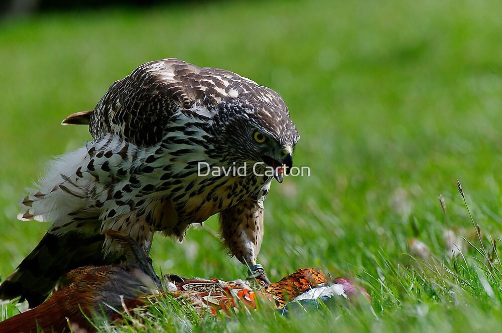 Goshawk (Accipiter gentilis) and Prey by David Carton