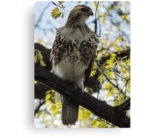 Red Tail Hawk Statue Canvas Print