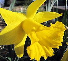 Daffodil by David Shaw