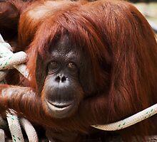 Orangutan by George Lenz