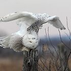Energy Release/Snowy Owl by Gary Fairhead