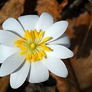 This Is Bloodroot by debbiedoda