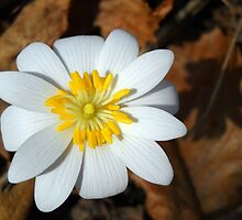 This Is Bloodroot by Debbie Meyers