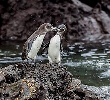 Galapagos Penguins by Withns