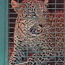 THE LEOPARED THAT WAS CAPTURED IN THE 'TRAP' by Magaret Meintjes