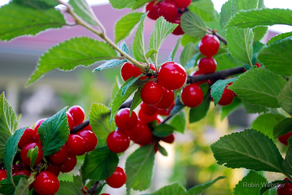 Berry Delight by Robin Webster