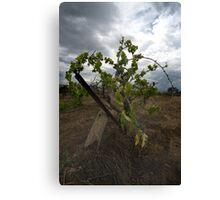 Old vine  Canvas Print