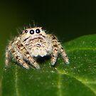 Itsy-Bitsy Spider by Richard Skoropat