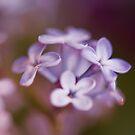 Lilac Dreams by Angela  Ardis