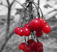 Red Clump of Berries by John Laubach