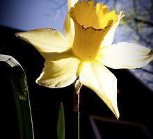 Daffodil Sun by Ashley Frechette