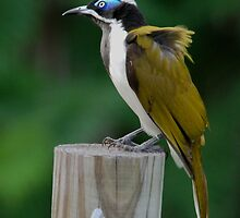 """""""Blue-faced Honeyeater"""" by bowenite"""