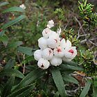 Tasmanian Snowberry (Gaultheria hispida) by goingdown