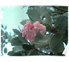 Manzanita Blossoms Poster