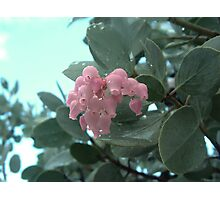 Manzanita Blossoms Photographic Print