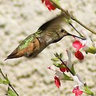 Hummingbird; Aguilar Garden, La Mirada, CA USA by leih2008