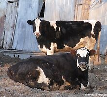 Cows Relaxing on the Farm by Barberelli