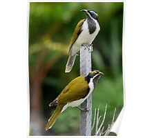 ''Blue-faced Honeyeaters'' Poster