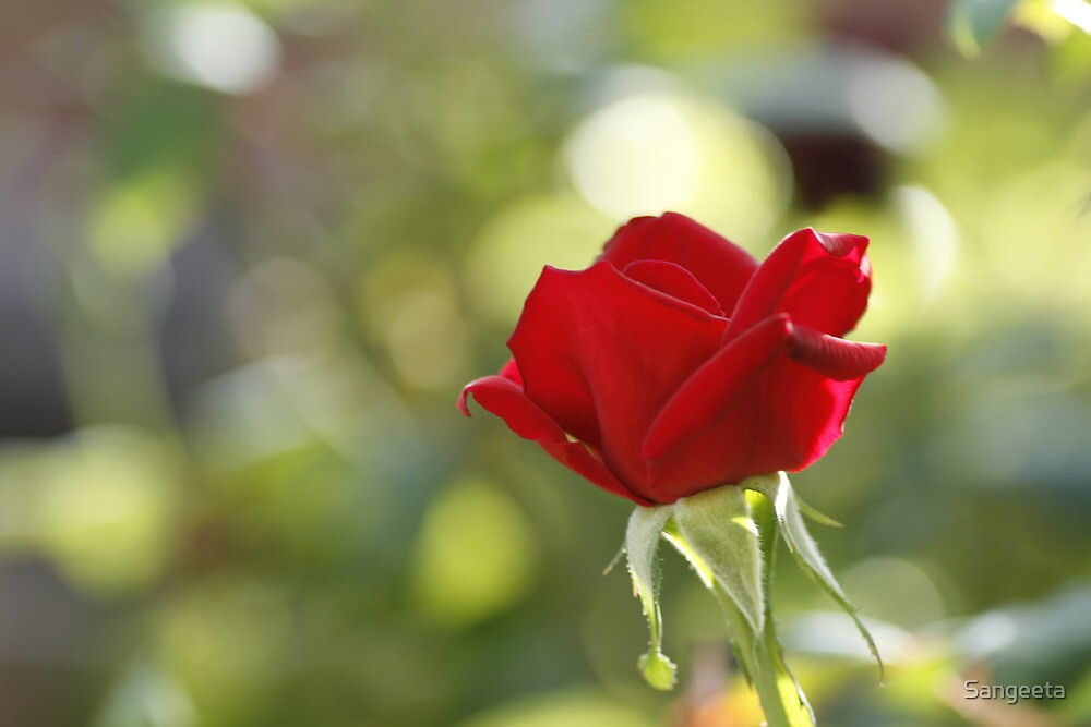 Red rose by Sangeeta