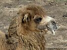 Head of Bactrian Camel by Barberelli