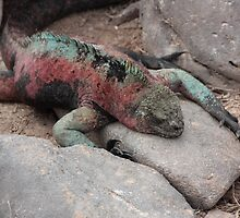 Galapagos Islands: Marine Iguana by tpfmiller