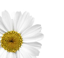 White Daisy on White by Jan  Tribe