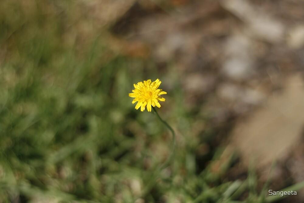 Yellow dandelion flower by Sangeeta